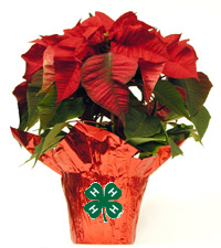 Poinsettia Plant with 4-H Clover